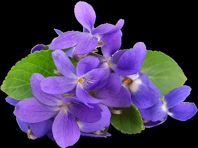violet-clipart-85664